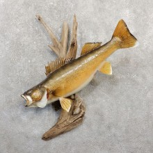 Walleye Taxidermy Mount For Sale #20057 @ The Taxidermy Store
