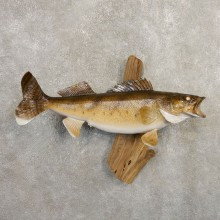 Walleye Taxidermy Mount For Sale #20869 @ The Taxidermy Store