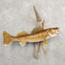Walleye Taxidermy Mount For Sale #20881 @ The Taxidermy Store