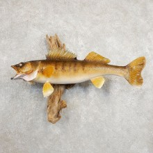 Walleye Taxidermy Mount For Sale #20882 @ The Taxidermy Store