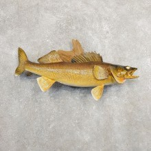 Walleye Taxidermy Mount For Sale #20885 @ The Taxidermy Store