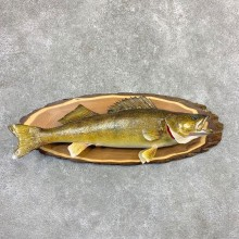 Walleye Taxidermy Mount For Sale #21620 @ The Taxidermy Store