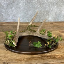 Walnut Table Centerpiece with Whitetail Deer Antler  #21234 @ The Taxidermy Store