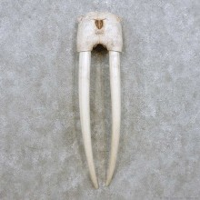 Walrus Skull Tusk Replica Mount For Sale #14286 @ The Taxidermy Store