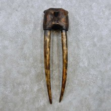Walrus Skull Tusk Replica Mount For Sale #14296 @ The Taxidermy Store