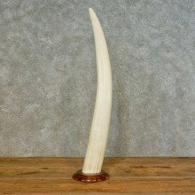 Walrus Tusk Replica Mount For Sale #16492 @ The Taxidermy Store