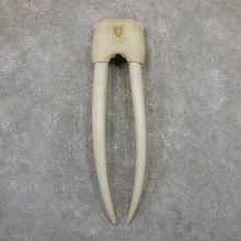 Walrus Skull European Mount For Sale #19401 @ The Taxidermy Store