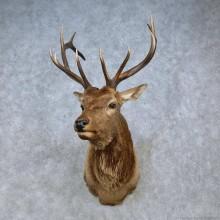 Tian Shan Wapiti Elk Taxidermy Shoulder Mount For Sale