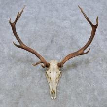 Wapiti Elk Skull European Mount For Sale #14545 @ The Taxidermy Store