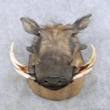 African Warthog Shoulder Mount w/ Real Tusks For Sale