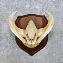 Warthog Skull & Tusk Mount For Sale #14451 @ The Taxidermy Store