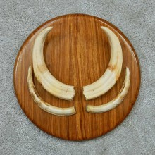 Warthog Tusk Plaque Mount #13742 For Sale @ The Taxidermy Store