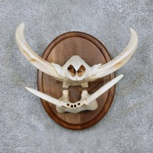African Warthog Tusk Plaque For Sale For Sale #14000 @ The Taxidermy Store