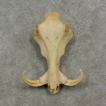 African Warthog Upper Skull Mount #17083 For Sale @ The Taxidermy Store
