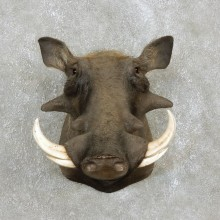 African Warthog Shoulder Taxidermy Mount For Sale