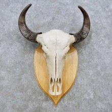 Water Buffalo Skull European Mount For Sale #14536 @ The Taxidermy Store