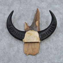Water Buffalo Horns Taxidermy Mount #13834 For Sale @ The Taxidermy Store