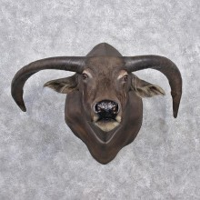 Water Buffalo Taxidermy Head Mount #12532 For Sale @ The Taxidermy Store