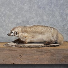 Badger Life Size Mount #12200 For Sale @ The Taxidermy Store