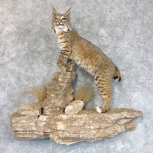 Western Bobcat Life-Size Mount For Sale #22425 @ The Taxidermy Store