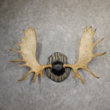 Western Canadian Moose Antler Taxidermy Plaque For Sale