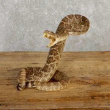 Western Diamondback Rattlesnake Mount For Sale #19979 @ The Taxidermy Store