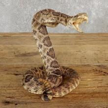 Western Diamondback Rattlesnake Taxidermy Mount For Sale