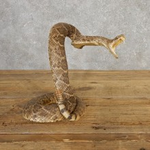 Western Diamondback Rattlesnake Mount For Sale #20319 @ The Taxidermy Store