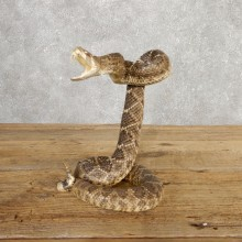 Western Diamondback Rattlesnake Mount For Sale #20320 @ The Taxidermy Store