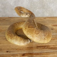 Western Diamondback Rattlesnake Mount For Sale #21003 @ The Taxidermy Store