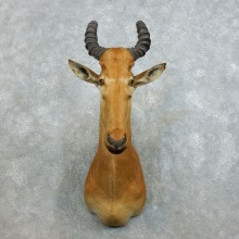 Western Hartebeest Shoulder Mount For Sale #18532 @ The Taxidermy Store
