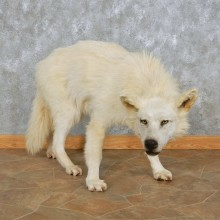 White Alaskan Wolf Mount For Sale #15027 @ The Taxidermy Store
