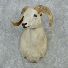 White Corsican Ram Shoulder Mount