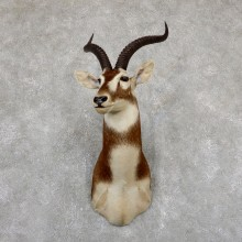 White-Eared Kob Taxidermy Shoulder Mount For Sale #19501 @ The Taxidermy Store