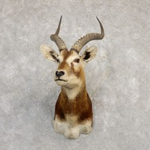 White-Eared Kob Taxidermy Shoulder Mount For Sale