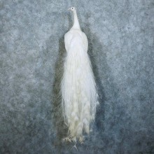 White Peacock Taxidermy Bird Mount For Sale