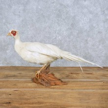 White Pheasant Mount For Sale #14837 @ The Taxidermy Store