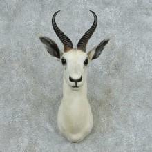 African White Springbok Shoulder Mount