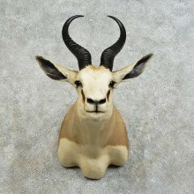 African Springbok Shoulder Mount For Sale #16141 @ The Taxidermy Store
