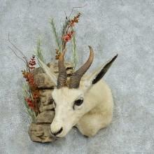White African Springbok Shoulder Mount