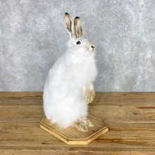 White-Tailed Jackrabbit Mount #22307 For Sale @ The Taxidermy Store