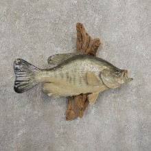 White Crappie Taxidermy Fish Mount #20928 For Sale @ The Taxidermy Store