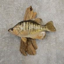 White Crappie Taxidermy Fish Mount #20931 For Sale @ The Taxidermy Store