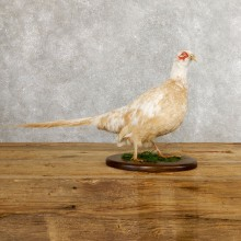 White Pheasant Bird Mount For Sale #19751 @ The Taxidermy Store