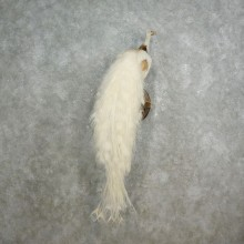 White Pied Peacock Taxidermy Bird Mount For Sale