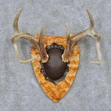 Whitetail Deer Antler Plaque Taxidermy Mount #13842 For Sale @ The Taxidermy Store
