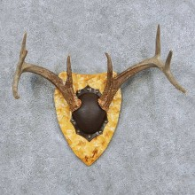 Whitetail Deer Antler Plaque Taxidermy Mount #13852 For Sale @ The Taxidermy Store