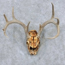 Whitetail Skull Antler European Mount For Sale #13887 For Sale @ The Taxidermy Store