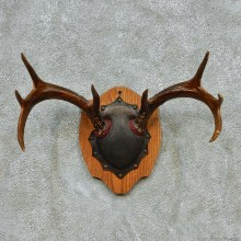 Whitetail Deer Antlers Plaque Taxidermy Mount #13111 For Sale @ The Taxidermy Store