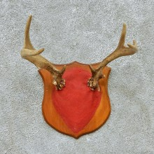 Whitetail Deer Antlers Plaque Taxidermy Mount #13112 For Sale @ The Taxidermy Store